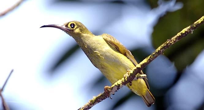 Pijantung tasmak (Arachnothera flavigaster )