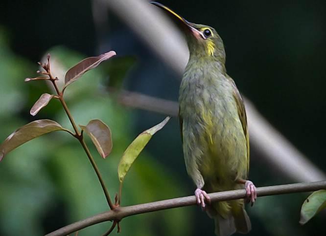 Pijantung telinga kuning (Arachnothera chrysogenys )