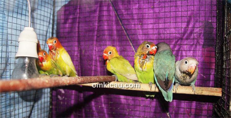 Breeding lovebird Andi GBU Solo