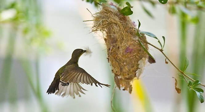 Burung pijantung