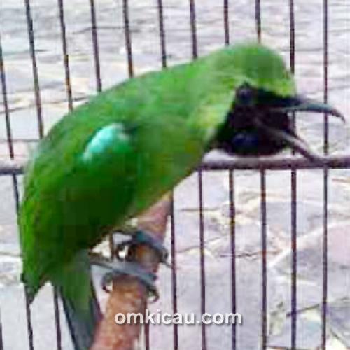 Cucak hijau Dealova