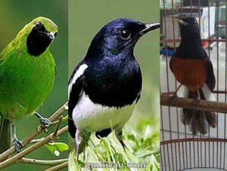 Suara asli burung