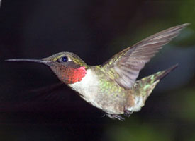 rubythroated