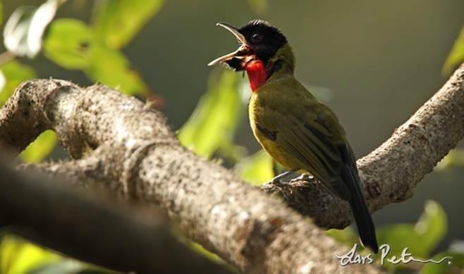 Burung samyong
