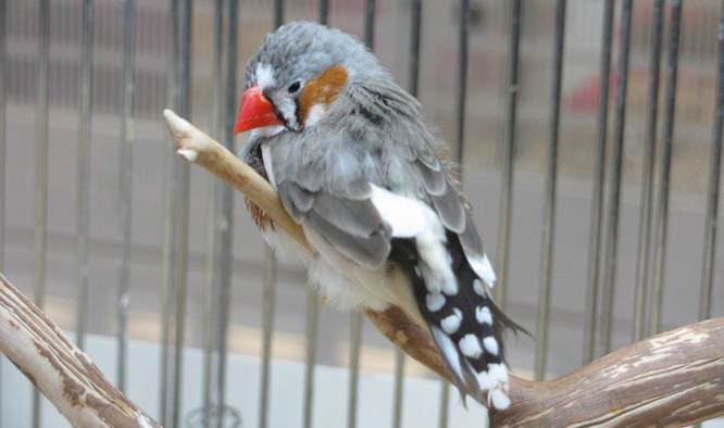 Burung sakit