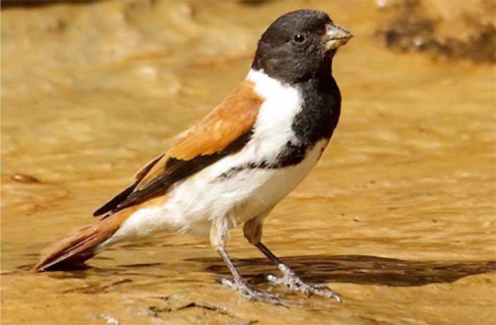 Burung black-headed canary