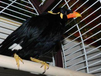 Perawatan mabung burung beo