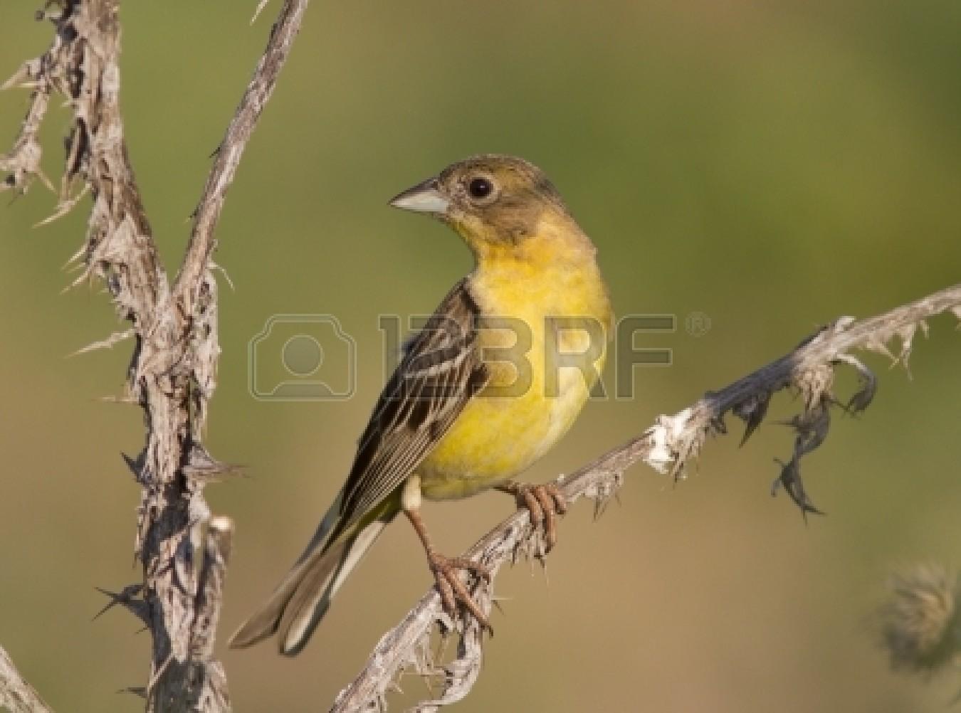 Burung betina