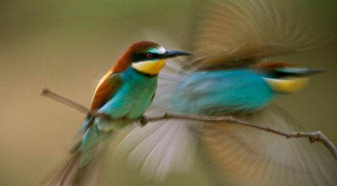 Burung kirik-kirik dengan warna bulunya yang cantik | Foto National Geographics
