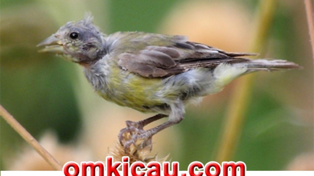 4 Metode Perawatan Mabung Pada Burung Ciblek Dipilih Dipilih Om Kicau
