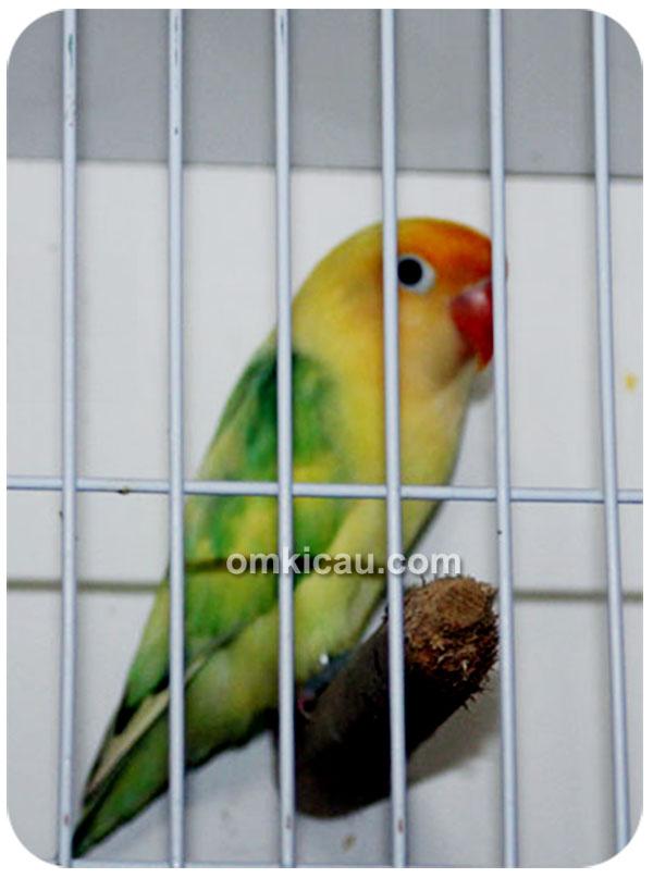 Lovebird warna dompied aqua parblue