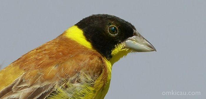 Burung emberiza