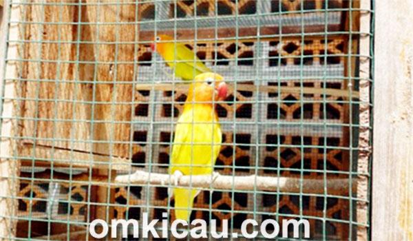 feat breeding lovebird GRBC