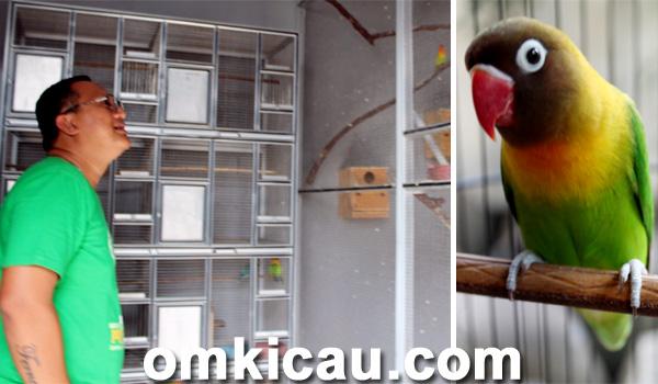 lovebird fernando umur 7 bulan sudah hasilkan rp 45 juta