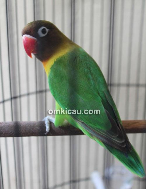 Lovebird Fernando milik Hany Faroko