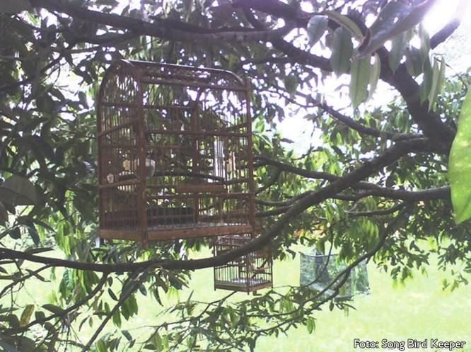Gantung pleci di pohon