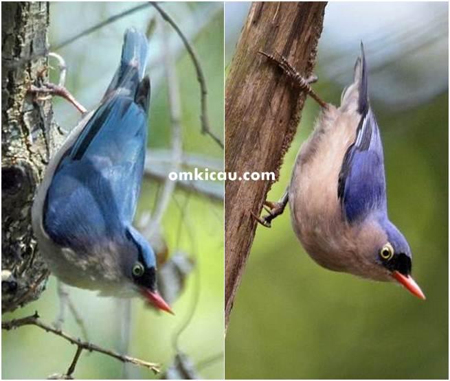 Burung rambatan jantan betina