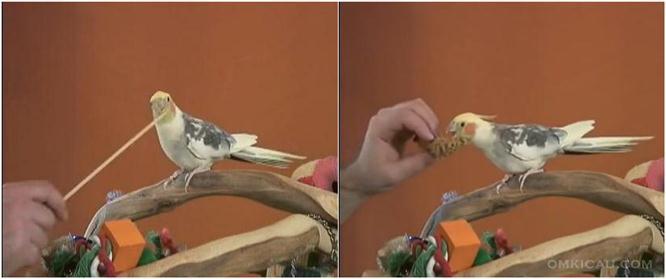 Melatih burung cockatiel