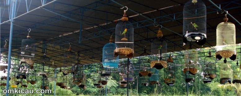 burung lovebird lomba