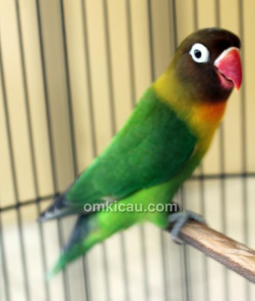 Lovebird Fernando