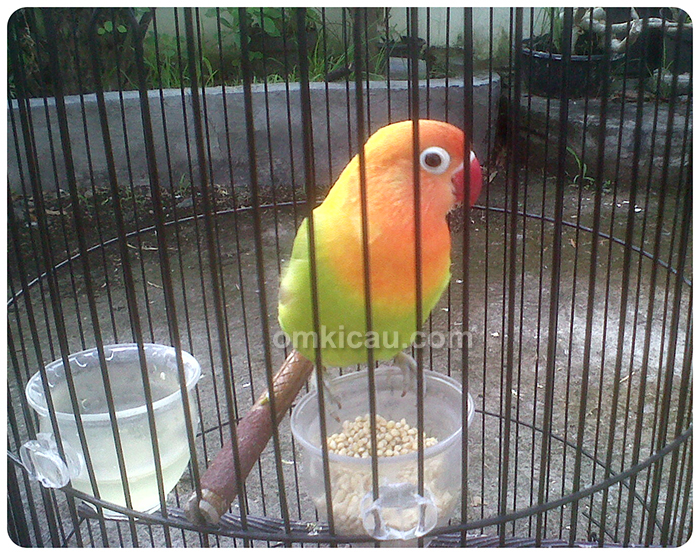 lovebird Meriam AVC