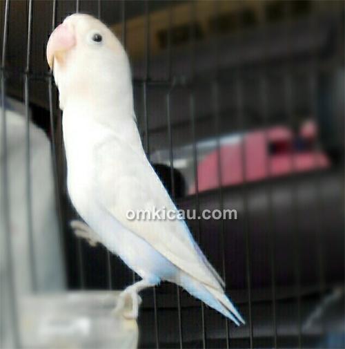 Lovebird Putri