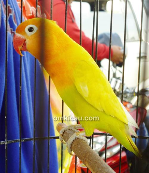 Lovebird Soimah milik Mr Sarno