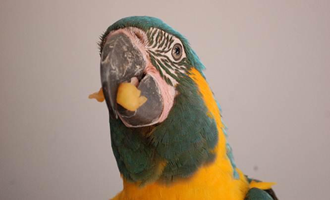 Macaw makan pepaya kering