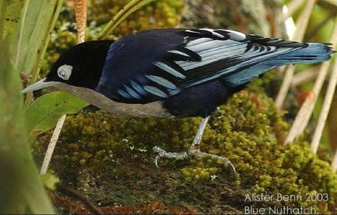 Mengenal Dua Jenis Burung Rambatan Untuk Masteran Om Kicau
