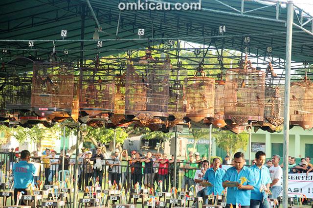 Kelas murai batu Ebod Jaya Cup