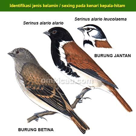 sexing burung kenari kepala-hitam