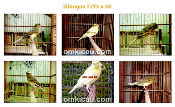Silangan F2YS x AF