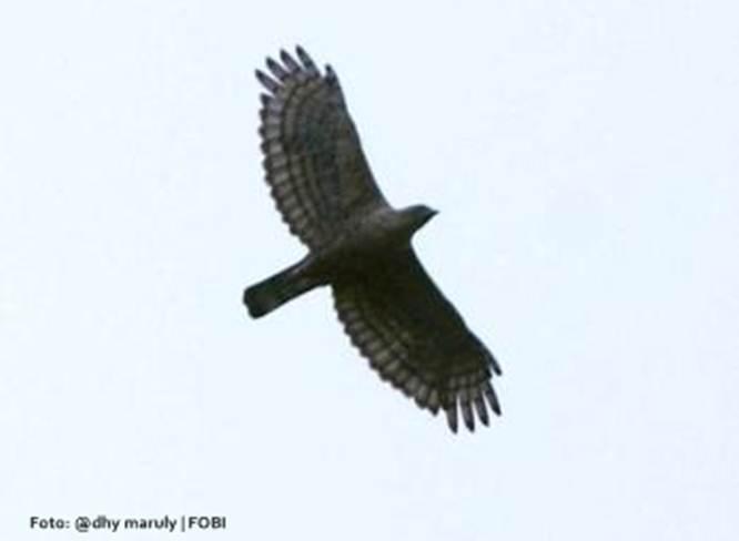 Elang jawa terbang