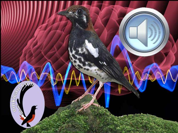 Suara masteran untuk melatih dan memaster burung anis kembang