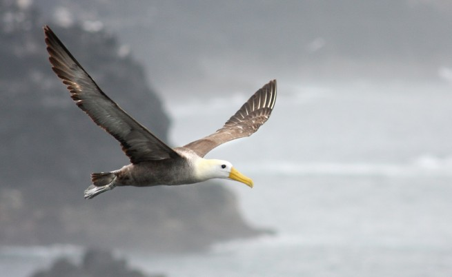 burung albatross