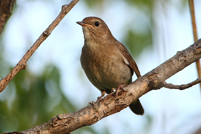 Burung thrush nightingale