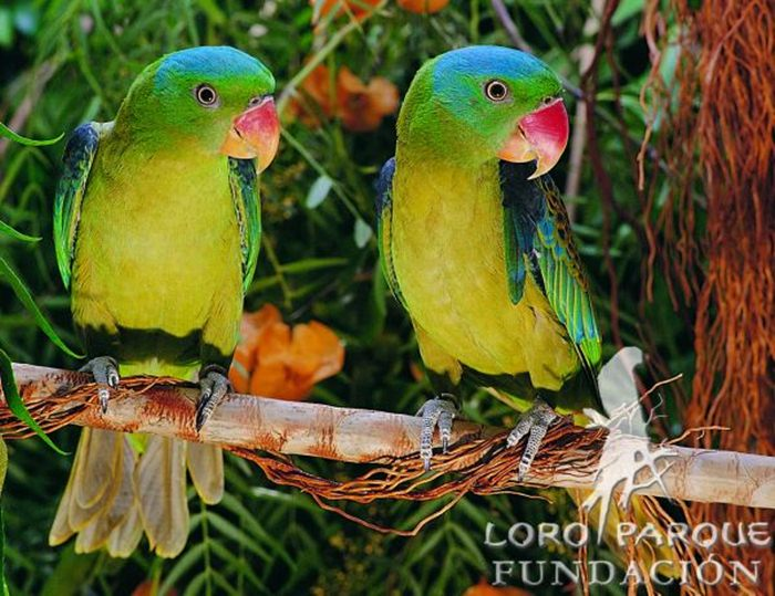 Burung betet kelapa filipina
