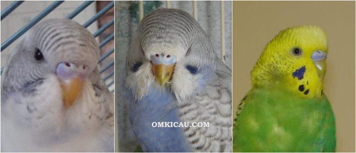 Warna cere burung parkit betina