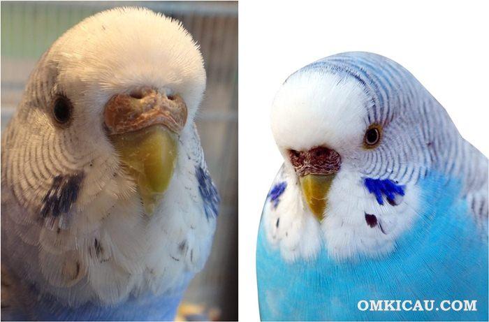 Warna cere pada burung parkit betina yang siap breeding