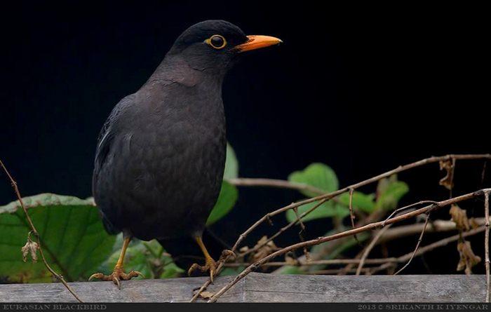 Burung blackbird