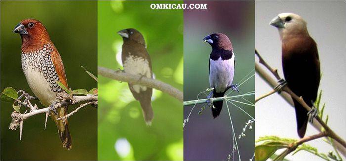 Jenis jenis burung emprit