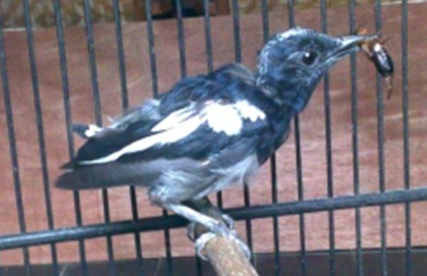 lima hal yang pantang dilakukan ketika burung mabung