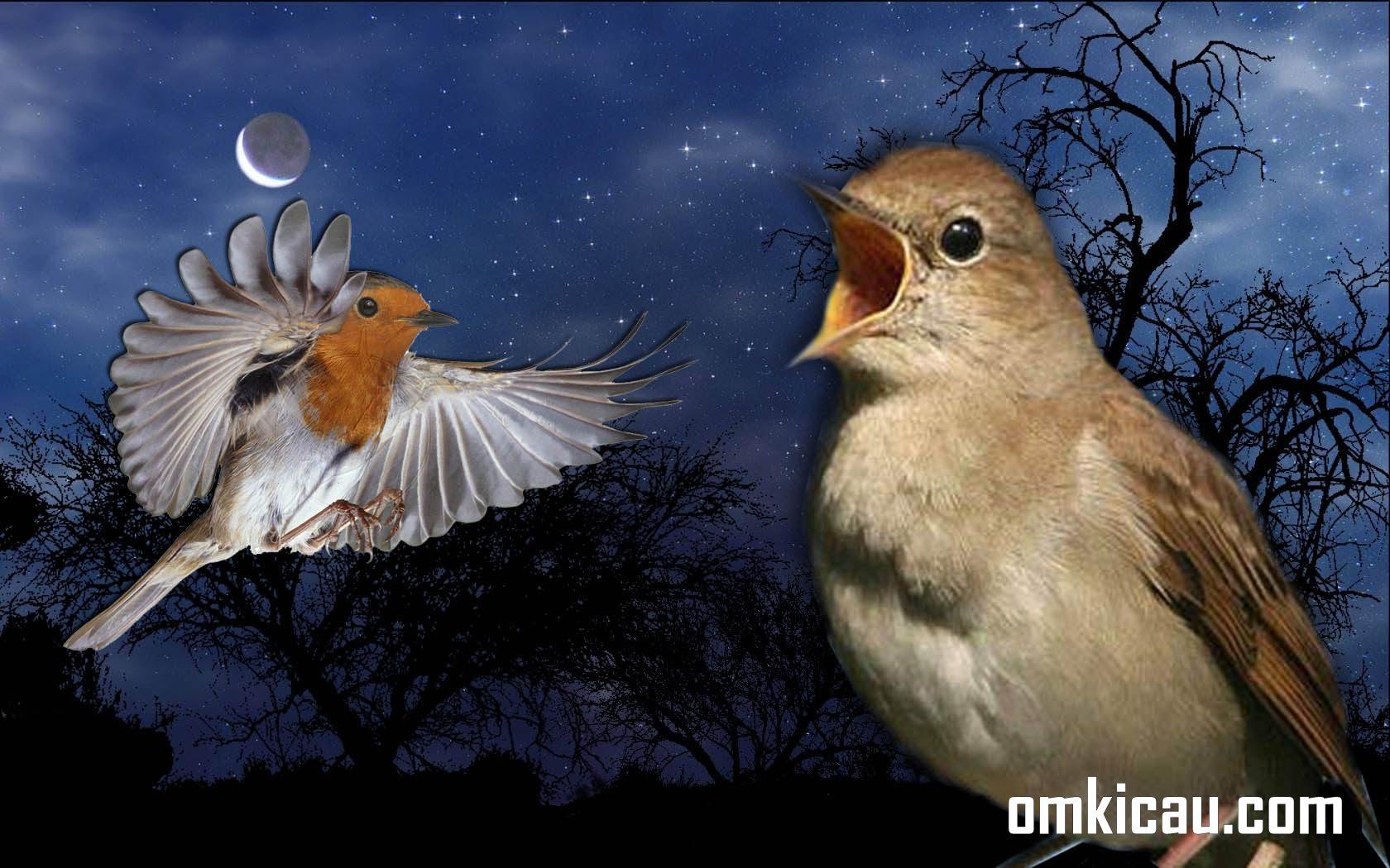 Selain nightingale, ada beberapa jenis burung yang juga aktif berkicau pada malam hari dengan suara merdunya