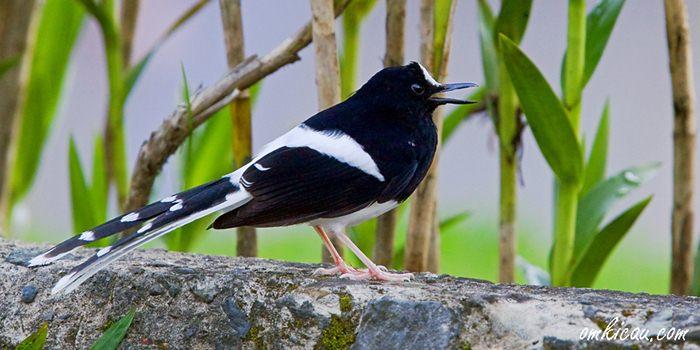 Burung meninting besar
