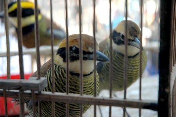 Burung paok pancawarna