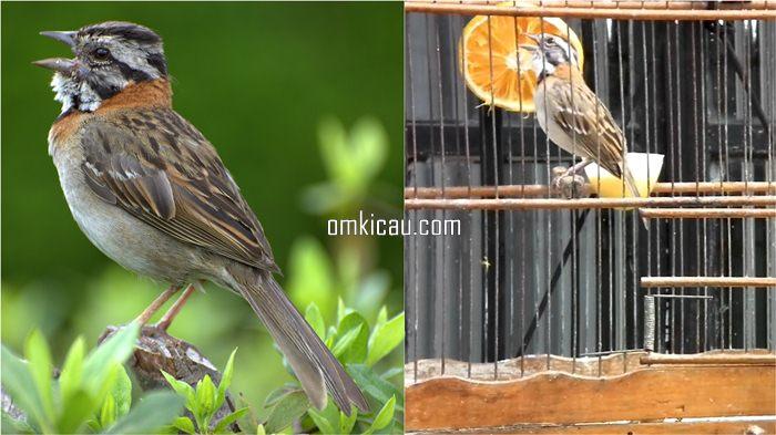 Burung tico tico