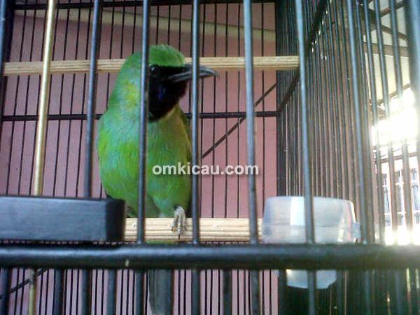 Cucak hijau Madun