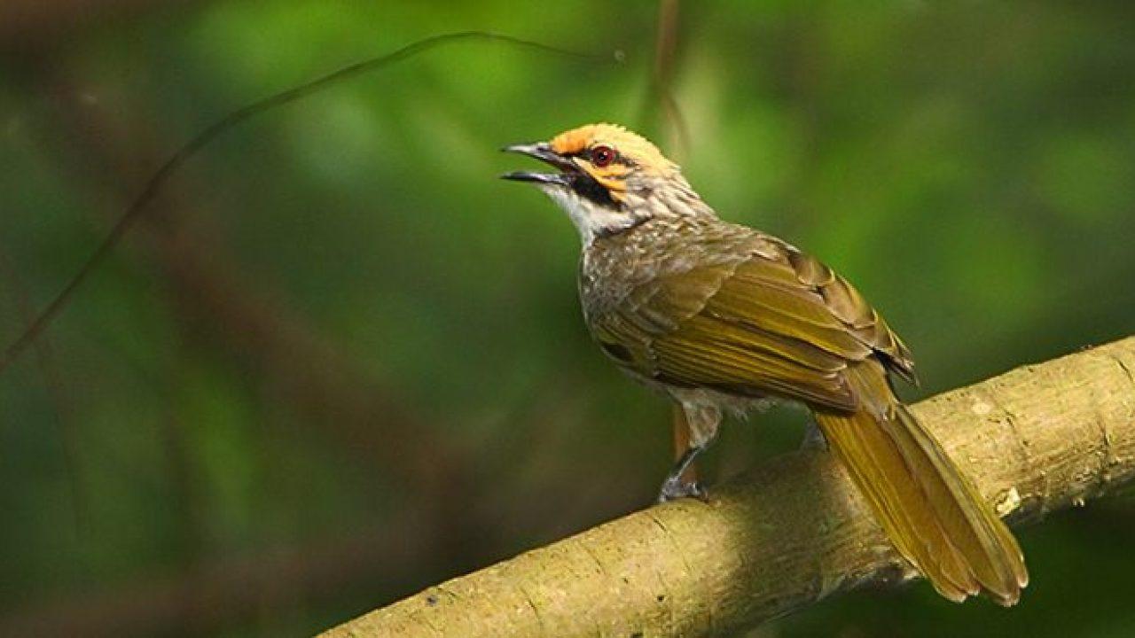 Perbedaan Burung Jantan Dan Betina Om Kicau