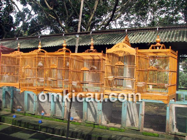 Cucak rawa produksi MBOF Bogor