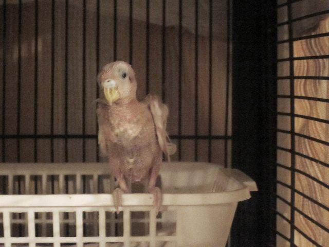 Burung terkena french molt